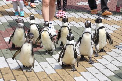 優雅に4泊3日の南紀白浜アドベンチャーワールド三昧2016通算5回目(7)ペンギン王国と食事タイムのホッキョクグマとラッコ~ペンギンパレード&キングペンギンのお散歩