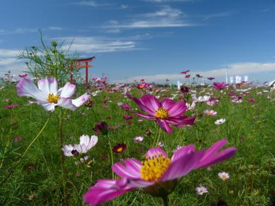小泉町のコスモス_2016(2)_白やピンクも咲き始めました(群馬県・伊勢崎市)