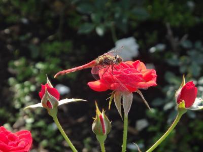 香りを愉しむ「秋のバラフェスタ」神代植物園と、「お蕎麦」&「鬼太郎」の深大寺