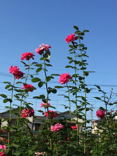 与野公園はもう秋薔薇の季節