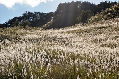 銀色の波が秋風に揺れる砥峰高原のススキ