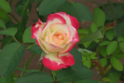 2016秋、鶴舞公園の秋薔薇と酔芙蓉(1):10月19日(1):秋薔薇(1):ジュピレ・デュ・フランス・ドゥ・モナコ、宴、オスカル・フランソワ
