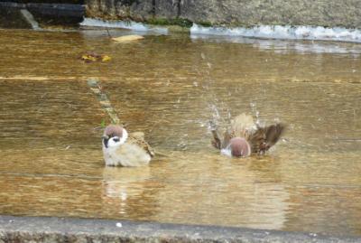 2016秋、鶴舞公園の秋薔薇と酔芙蓉(4:完):10月19日(4):野鳥:スズメの水浴び、カラスの行水、それを横眼のハクセキレイ