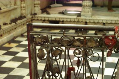 インド・シェカワティ地方1:聖なるねずみを信仰するカルニマーター寺院