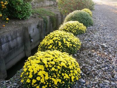 早朝散歩でリハビリ・・・実りの秋・秋の草花を楽しみながら富士山の姿をもとめて