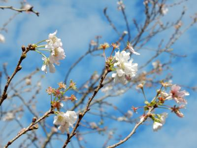 十月桜と紅葉の飛鳥山公園