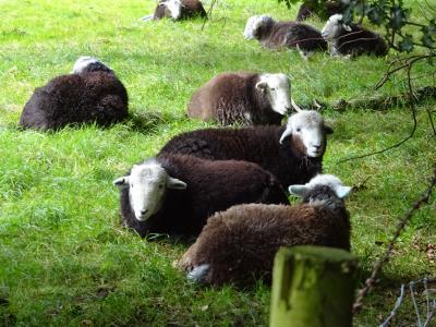 1609英~KESWICKといえば羊さん?でもたま~にちょっとだけ凶暴になるときもあるみたいよ。。。