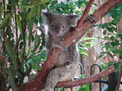 2016年5泊8日オーストラリア(ケアンズ+ハミルトン島)旅行記4 コアラと朝食~ホワイトヘブンビーチ