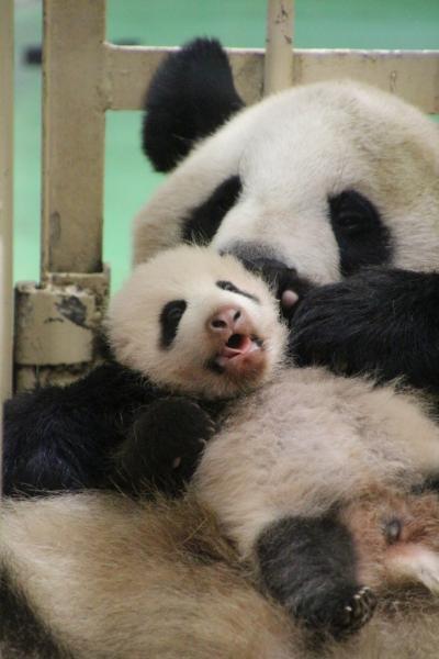 Hello!最強トリプル赤ちゃん!~ジャイアントパンダ・エンペラーペンギン・レッサーパンダの赤ちゃんズ、アドベンチャーワールドにて