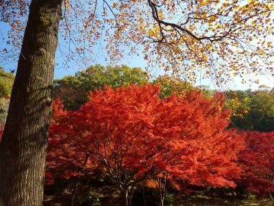 織姫山もみじ谷の紅葉_2016_一部遅めでしたが、全体的には見頃でした。(栃木県・足利市)