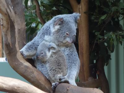 フェザーデール・ワイルドライフ・パークでコアラとツーショット。オーストラリアならではの体験です。