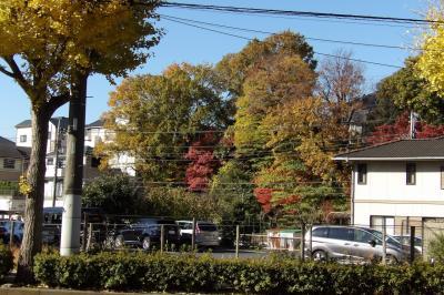 小菅ヶ谷の銀杏並木と桂町のいちょう通