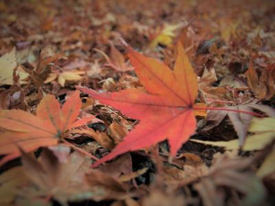 大威徳寺の紅葉 2016.12.5 落葉多し