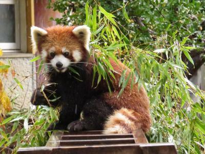 初冬のレッサーパンダ紀行【3】 徳山動物園 雨の中30分だけ動物園へ・・・ありがとう、ユキさん