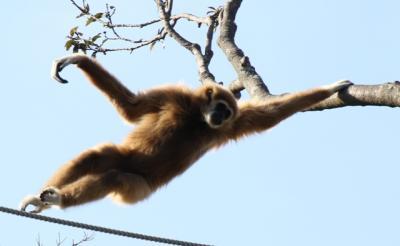 シロテテナガザルの展示が充実しているときわ動物園探訪