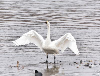 今年は酉年。そうだ!白鳥に会いに行こう!~安曇野白鳥湖~