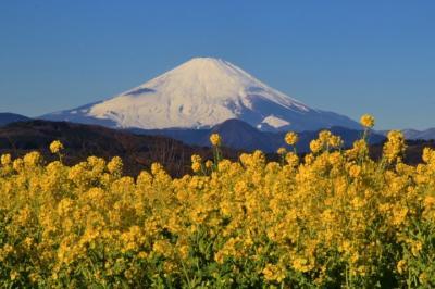 富士山と菜の花の絶景~吾妻山公園