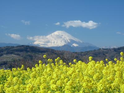 吾妻山公園の菜の花_2017_菜の花は満開、富士山も見えました(神奈川県・二宮町)