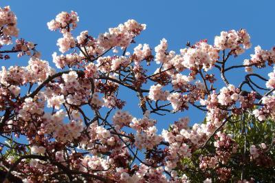 上野公園の寒桜が開花していました