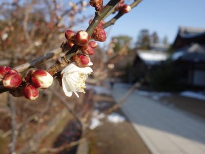 北野天満宮の梅は,はや,咲き始めていました。