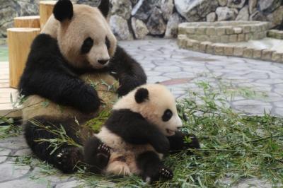 Hello!最強トリプル赤ちゃん、その後!~ジャイアントパンダ・エンペラーペンギン・レッサーパンダの赤ちゃんズ、アドベンチャーワールドにて