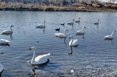 白鳥の町・川島