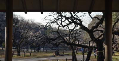 大倉山梅林 1月の梅は