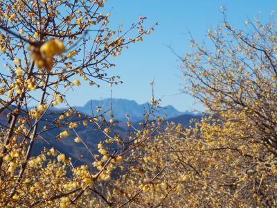 宝登山 / 雪山の疲れを蝋梅で癒す