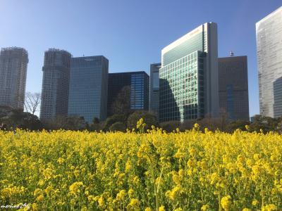 東京下町散歩と都心の菜の花畑:木場~浜離宮恩賜庭園