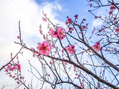 瀬戸内海が 一望できて 梅の花も 咲いていた~  御津まつり !!カキフライも美味しい!