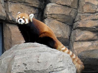 冬のレッサーパンダ紀行【5】 天王寺動物園&王子動物園 地元近畿の2園を訪問、今年の恋の季節の雰囲気を観察してきました