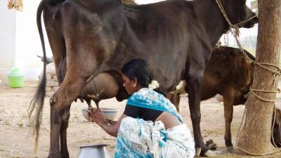 インド幻想行【38】ビジャイプール:お母さん牛と仔牛が来る牛乳の宅配