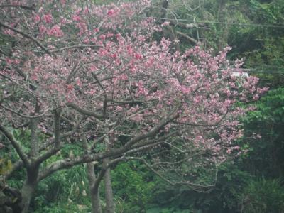 日本一早い花見