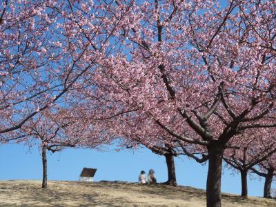 いせさき市民のもり公園の河津桜_2017_(2)_河津桜は5分咲きくらいでした(群馬県・伊勢崎市)
