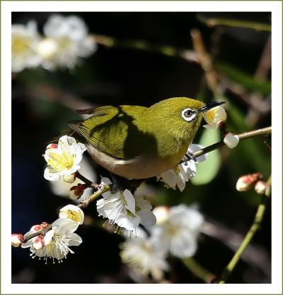 Solitary Journey[1878]一足早い春の訪れ♪梅の花の香りに誘われてはしゃぎまわるメジロたち。<冠山総合公園・光の花物語> 山口県光市