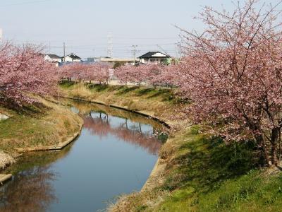 久喜市鷲宮地区青毛掘川畔の河津桜を楽しむ