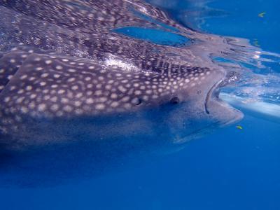 ジンベイザメと泳ぐ、満喫一人旅☆初めてのセブ島旅行☆出発からオスロブ編