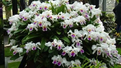 淡路島のトラフグ・昨年のリベンジ(18) 奇跡の星の植物園 驚異のラン展 その1。
