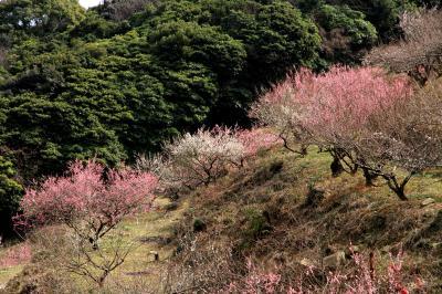 兵庫県たつの市の綾部山梅林。見頃はも少し先かな。