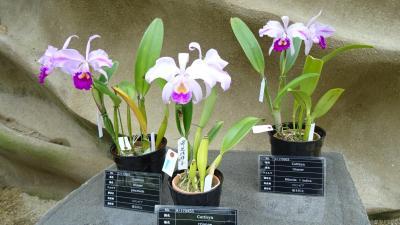 淡路島のトラフグ・昨年のリベンジ(19) 奇跡の星の植物園 驚異のラン展 その2。