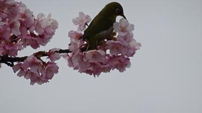 淡路島のトラフグ・昨年のリベンジ(23) 国営明石海峡公園 桜と風車のある風景。