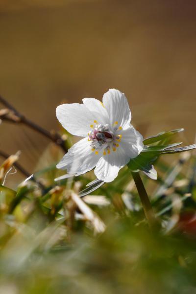 早春の丹波・せつぶん草めぐり