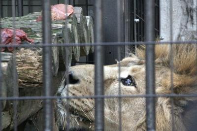 バレンタインのラブラブピークを過ぎてしまった新川崎と横浜のレッサーパンダ詣(2)野毛山動物園(前編)ミナミコアリクイは昼寝中、ツキノワグマは展示中止で残念だったけど、ライオンのラージャーくんの可愛らしさを知る