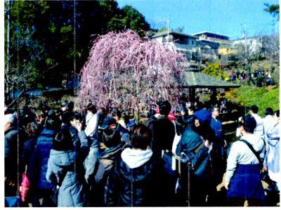 大倉山梅林へ梅を見に