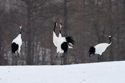 雪が降る日のタンチョウ: 冬の道東、鳥撮影の旅 (1)