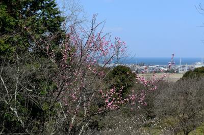 天地山公園の梅