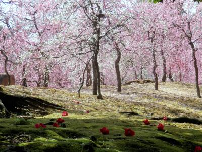 伏見城南宮の枝垂れ梅 全身がピンクに染まる幸せなひととき