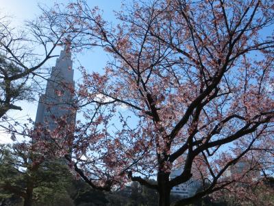 新宿御苑探訪 ハクモクレン満開 桜はちょっとまだ・・・