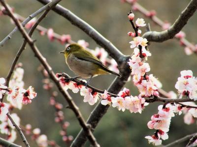ひと目2万本!春らしい香りが漂う綾部山梅林