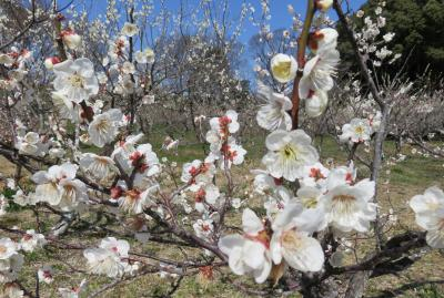 2017春、佐布里池の梅林(3/8):3月11日(3):青軸、佐布里梅、白加賀梅、八重咲の紅梅